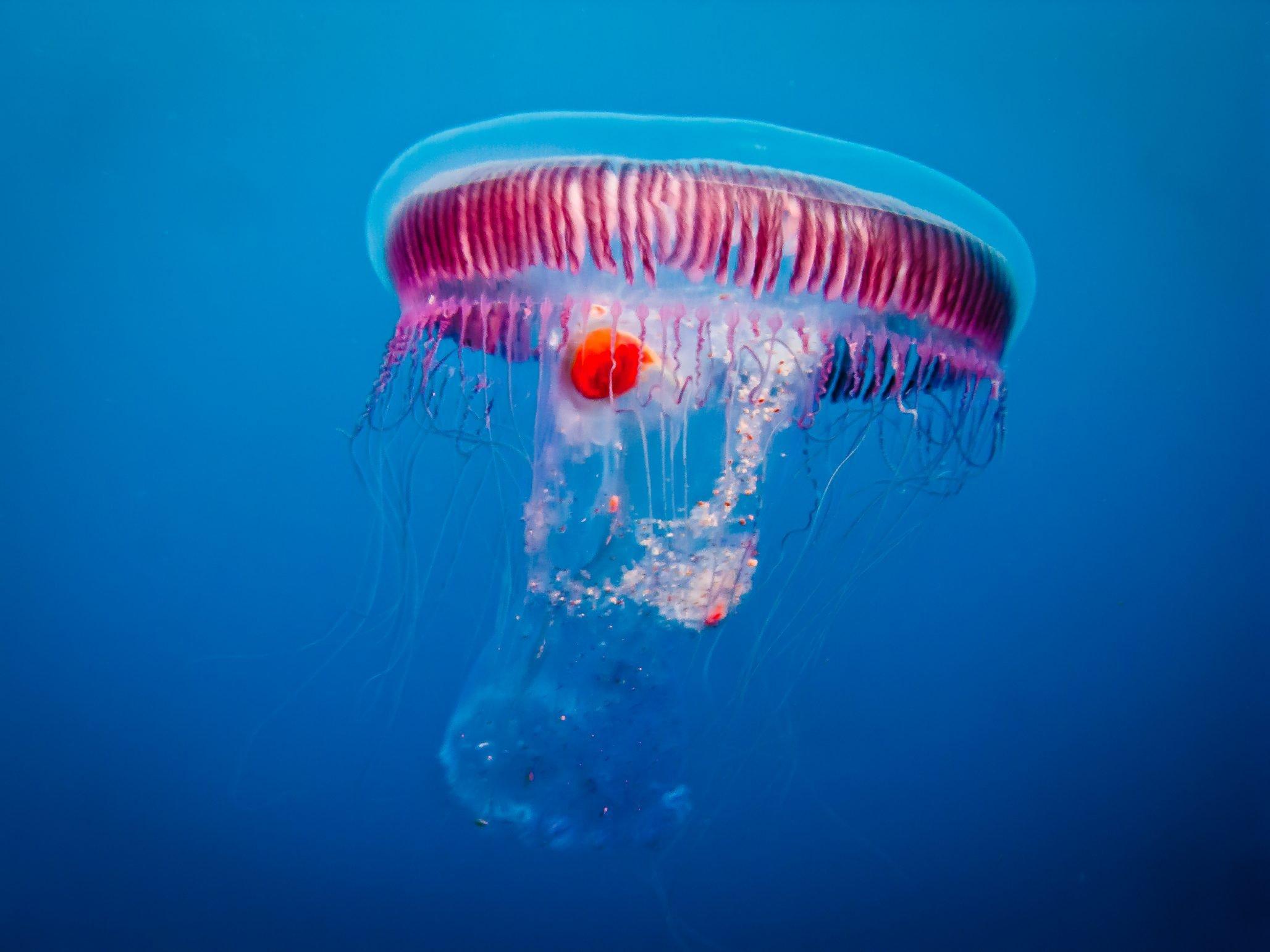 Jellyfish off Reqqa Point gozo