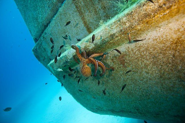 Octopus under boat on Gozo
