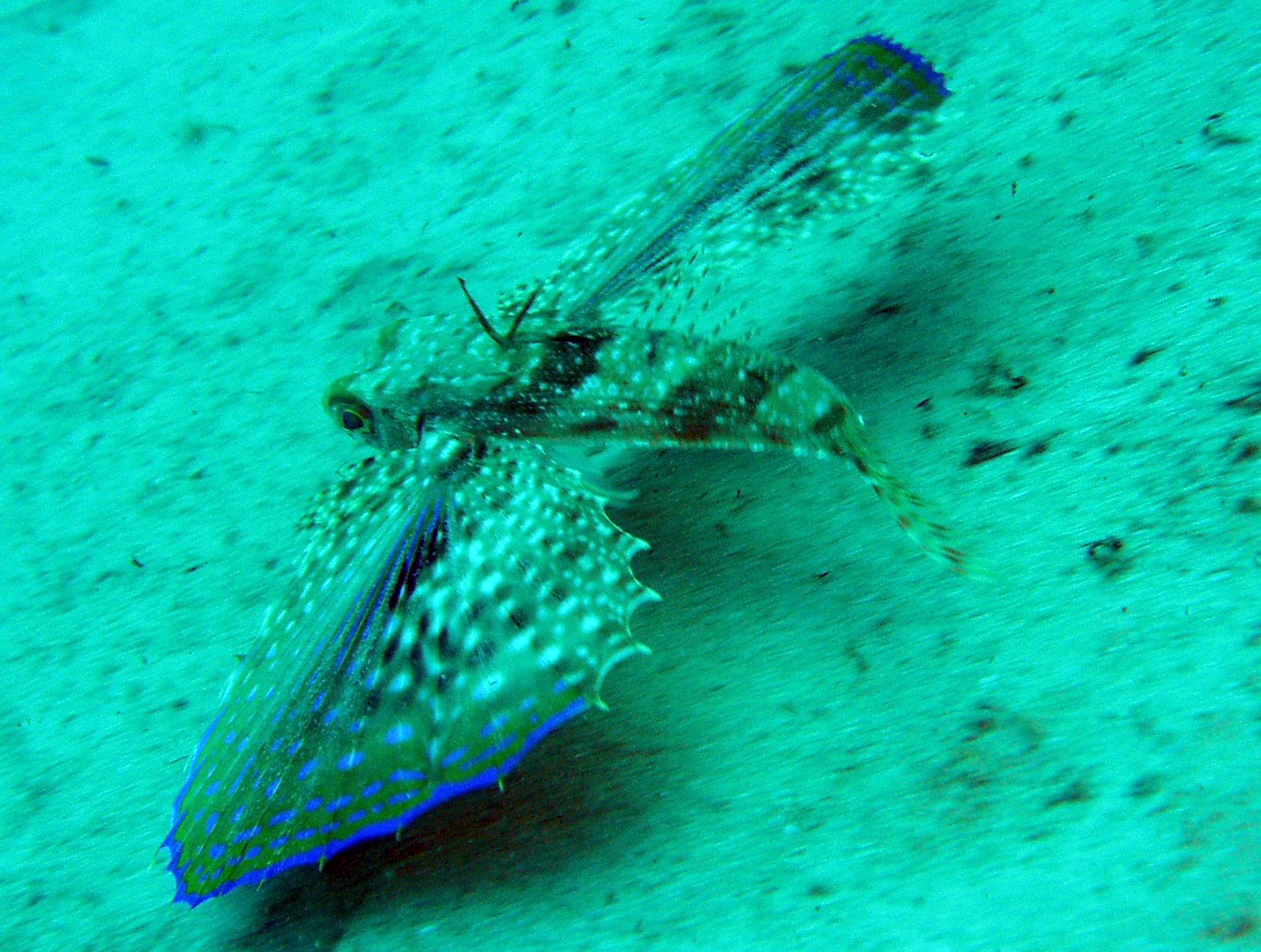 gunard underwater malta